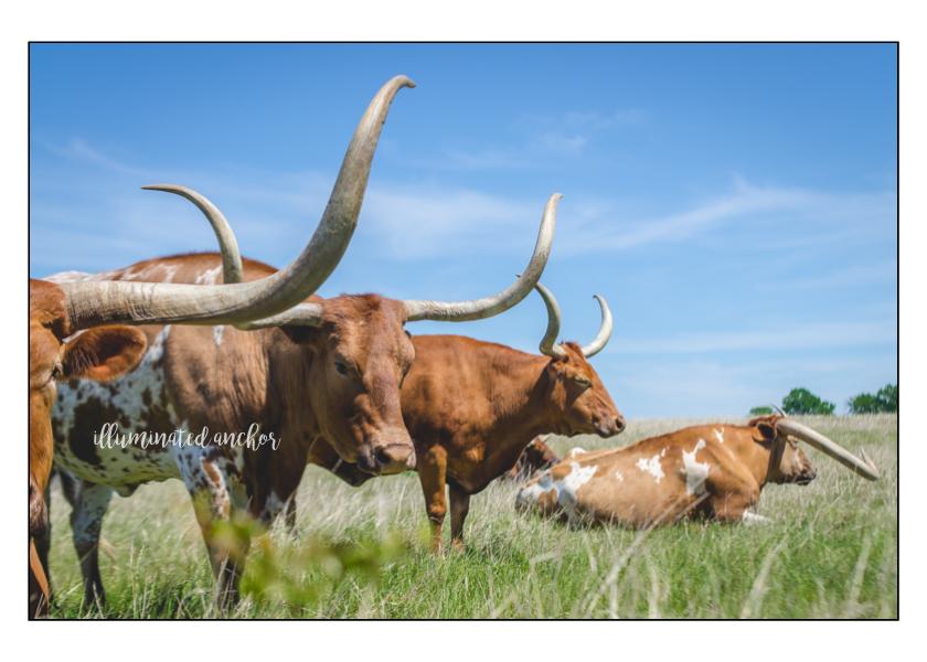 longhorn2